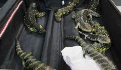 知花茜(チバナアカネ)のfacebook|オーストラリアから19匹のトカゲを密輸